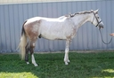 Okey Dokey aka Oakley  in  Horses For Sale