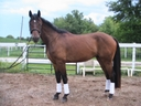 Cyman in  Horses For Sale