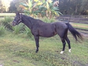 Tanner in  Horses For Sale