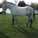 Royal Ramses in  Horses For Sale