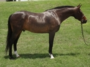 Balthazar in  Horses For Sale