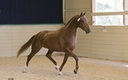 Fleetwood, ISF, Star in  Horses For Sale