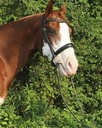 Gran Chocolate Chip in  Horses For Sale