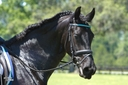 Turquoise ISF in  Horses For Sale