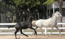 Mister Darcy in  Horses For Sale