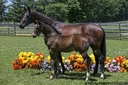 Divine ISF in  Horses For Sale