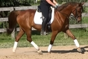 Copper in  Horses For Sale