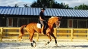 Charmeur in  Horses For Sale
