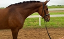 Le Cheval Royale in  Horses For Sale
