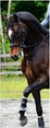 Romischer Prinz in  Horses For Sale