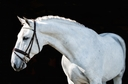Xenophon in  Horses For Sale
