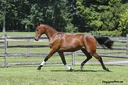 Just Spirit ISF in  Horses For Sale