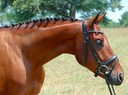 Linghs Sinclair in  Horses For Sale