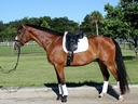 Churchill ZF in  Horses For Sale
