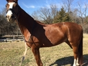 Princeton SLEC in  Horses For Sale