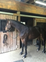 Lord Burberry in  Horses For Sale