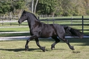 Xenon ISF in  Horses For Sale