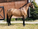 La Tonia in  Horses For Sale