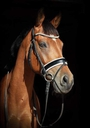 Compagnon's Hidde in  Horses For Sale