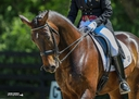 Rollo Rock Star in  Horses For Sale