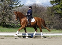 LOMBADY K in  Horses For Sale