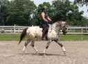 CCS Celeborn in  Horses For Sale