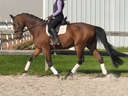 American Spitfire HU in  Horses For Sale