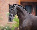 Sterling in  Horses For Sale