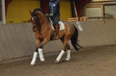 Brune  in  Horses For Sale