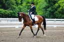 AH Furst Falcon in  Horses For Sale
