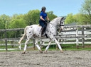 CCS Theoden in  Horses For Sale