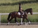 Farceur in  Horses For Sale