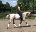 FF Skipp Stout in  Horses For Sale