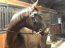 Majestic Dancer NHF in  Horses For Sale