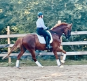 Sparticus LHF in  Horses For Sale