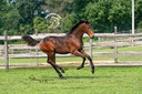 Radnor ISF in  Horses For Sale