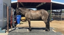 RCK Nico in  Horses For Sale